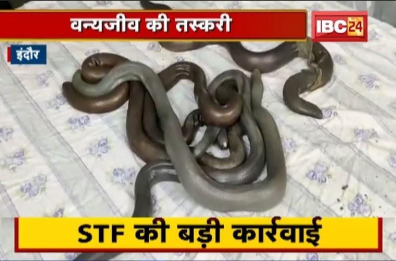 STF ने तस्करों से जब्त किया 5 नग दो मुंहा सांप, करोड़ों रुपए है कीमत, तांत्रिक क्रियाओं के लिए किया जाता है उपयोग